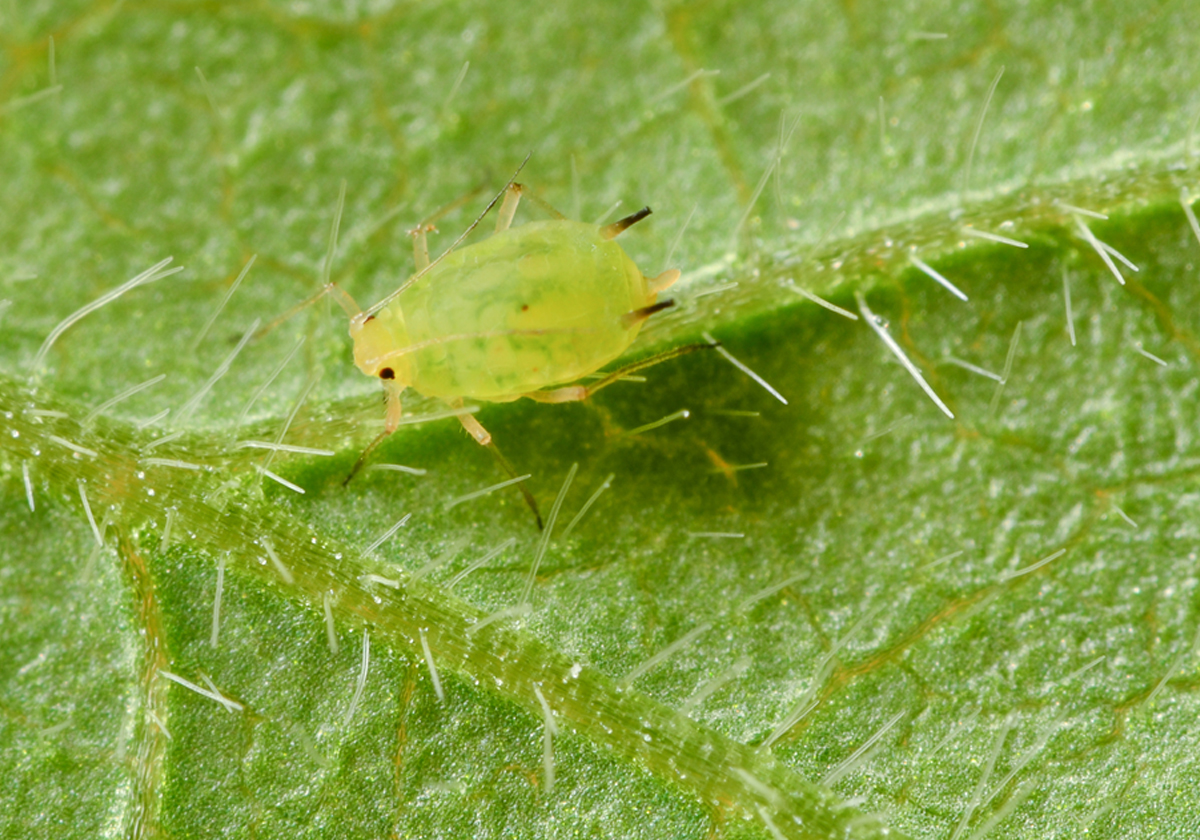 soybean aphid Ohio Soybean Field Leader