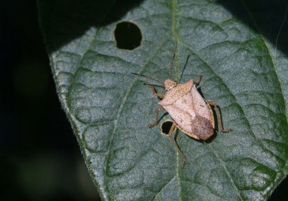 Ohio Field Leader Soybean Stink Bug Identification