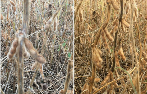 Discolored, moldy seeds along with shriveled seeds are very evident in some fields