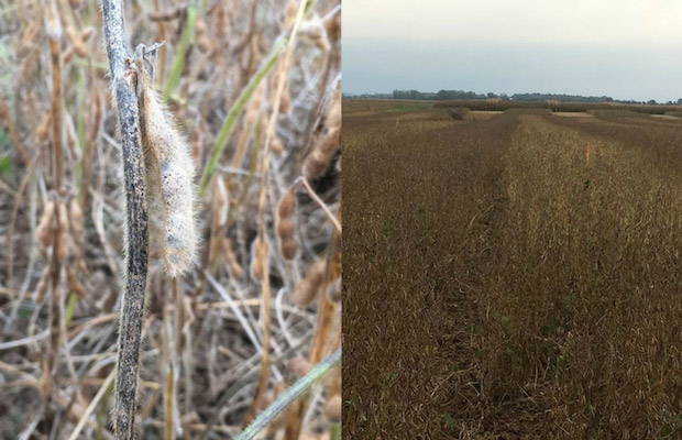 Soybean stems in some fields are heavily colonized with a mix of disease pathogens that cause Anthracnose, Cercospora, and pod and stem blight