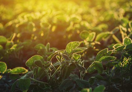 Field Leader Soybeans